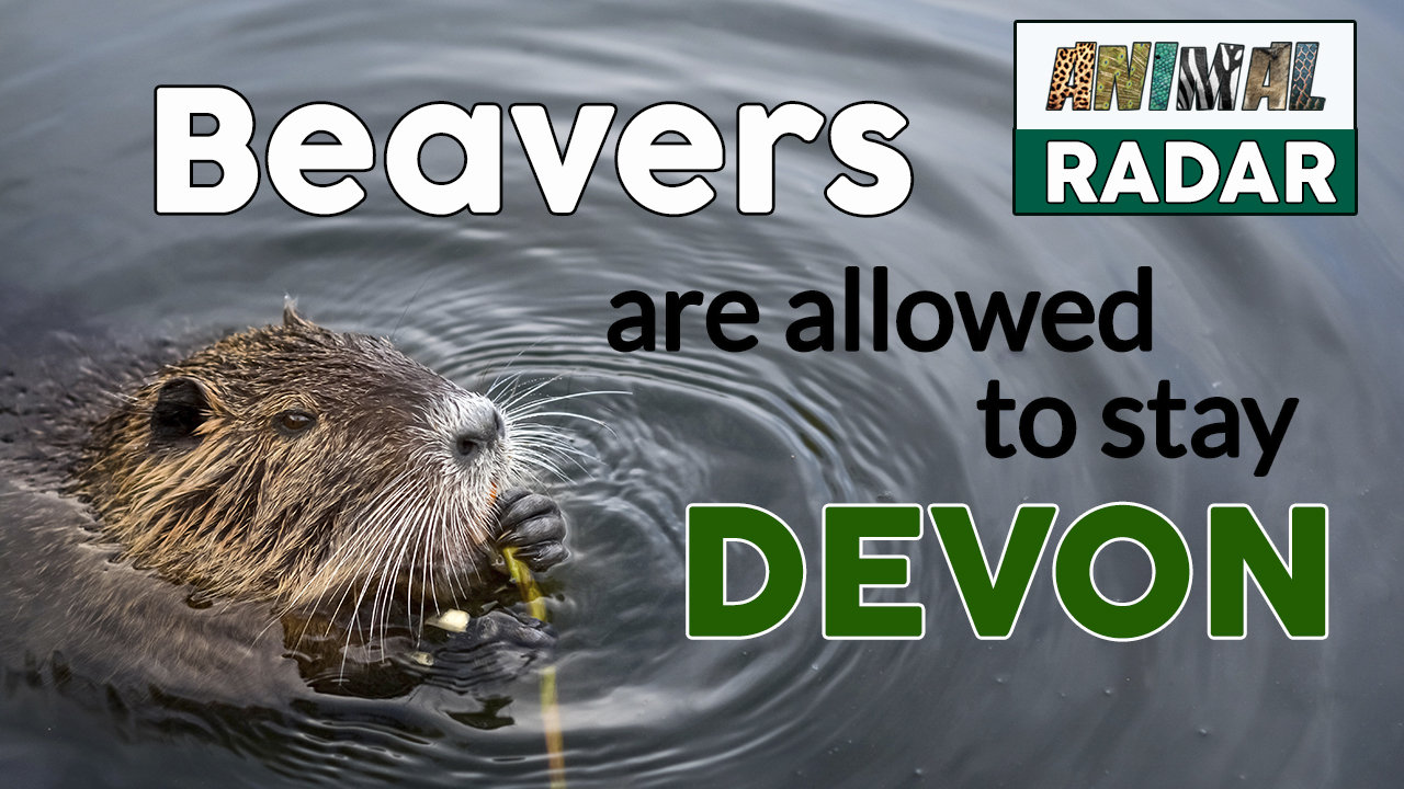 Beavers are allowed to stay in Devon!