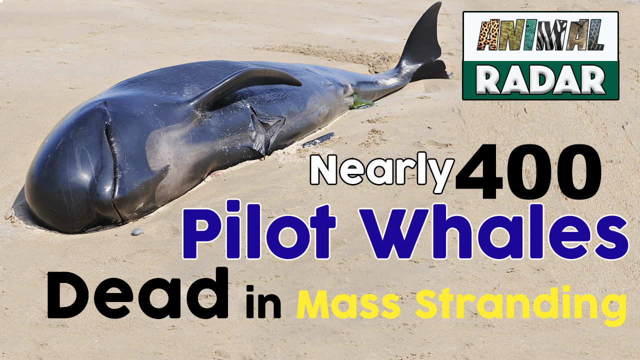 Nearly 400 Pilot Whales have Died in a Mass Stranding in Australia