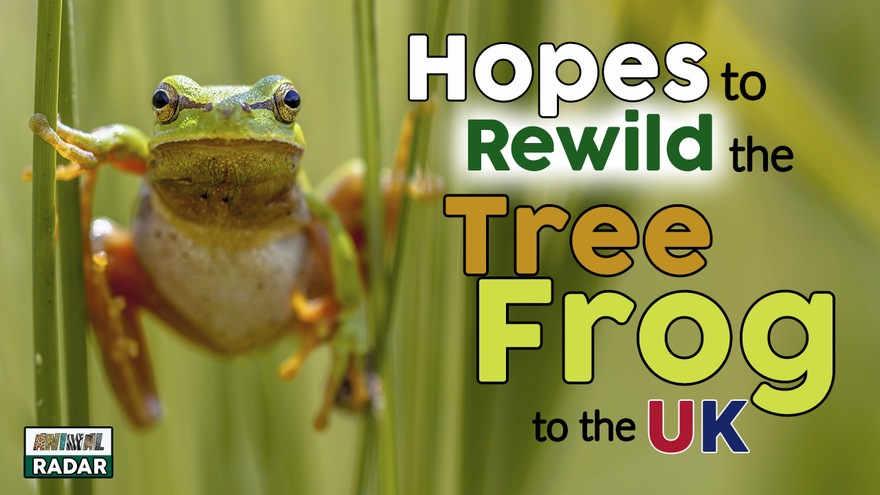 Hopes to Rewild Tree Frogs to the UK