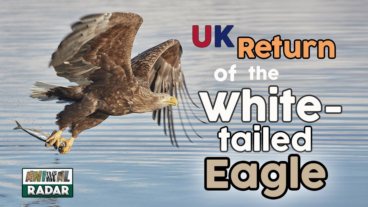 UK Return of the White Tailed Eagle